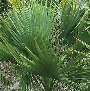 Beneficios del saw palmetto