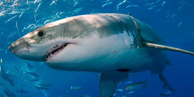 cartilago de tiburón