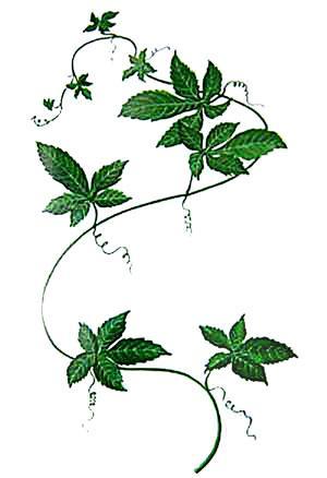 Hierba Gynostemma pentaphyllum y su imoprtancia