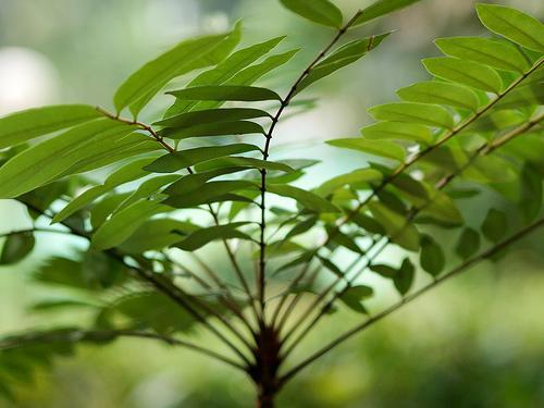Eurycoma Longifolia aumenta la producción de testosterona