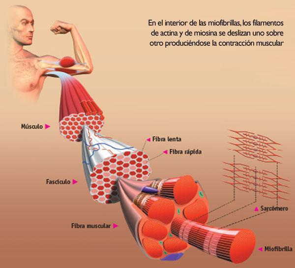 fibras musculares lentas y rapidas