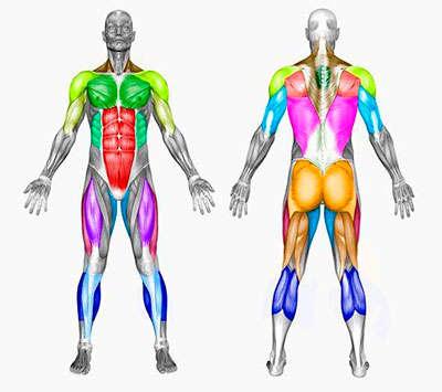 grupos-musculares