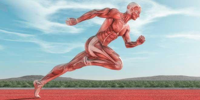 Longitud del músculo
