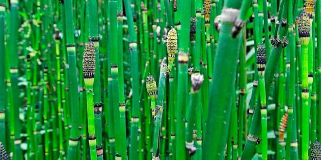 Cola de Caballo: Planta Ancestral