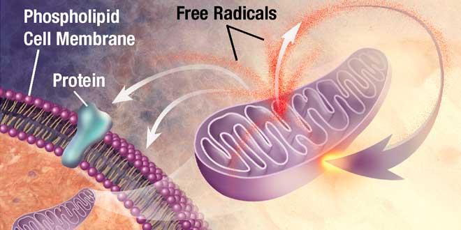 Efecto Radicales Libres