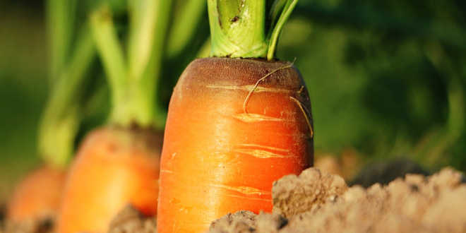 Zanahoria fuente vitamina A